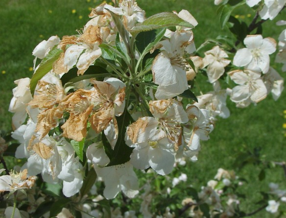 Frost Damaged Apple Blossoms