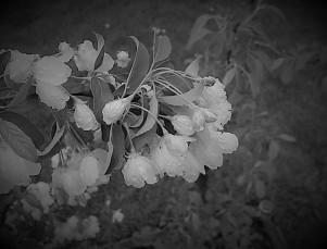 apple blossoms (2)