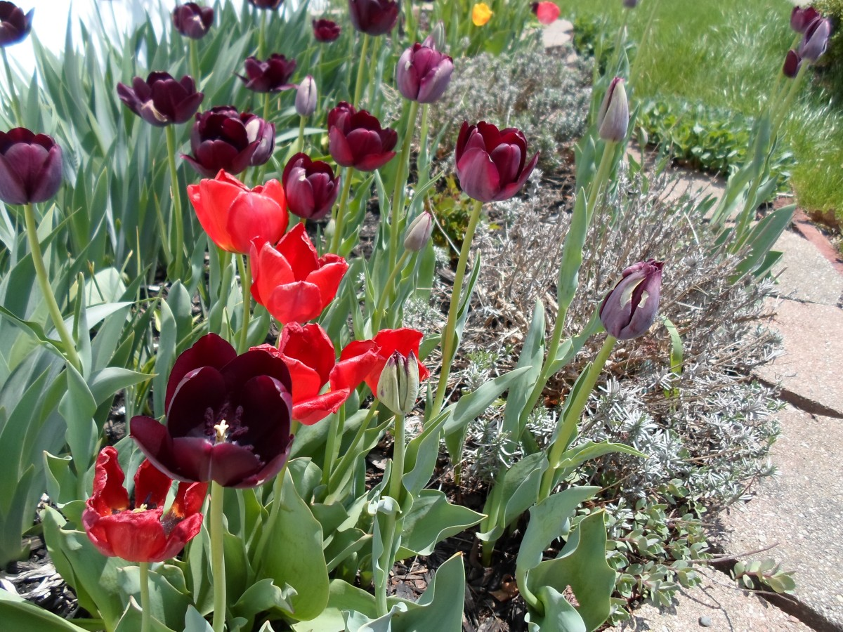 Tulip Fest in My Yard!